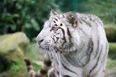 White tiger wags its tail — Stock Photo