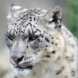 Snow leopard Close-up — Stock Photo