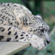 Snow leopard resting — Stock Photo
