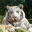 White tiger chewing grass — Stock Photo