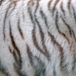 White tiger fur — Stock Photo