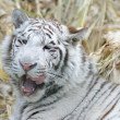 White tiger licking mouth - Stock Photo