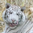 White tiger licks whiskers - Stock Photo