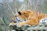 Tiger head on paw — Stock Photo