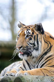 Tiger with tongue out — Stock Photo
