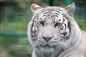 White tiger close-up — Stock Photo