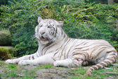 White Tiger Lays Done — Stock Photo