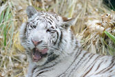 White tiger licking mouth — Stock Photo