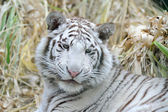 White tiger looks young — Stock Photo
