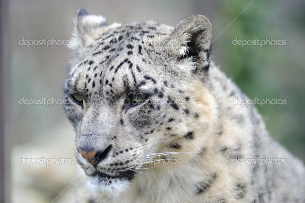 Snow leopard close-up of head — Stock Photo #9642660