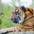 Tiger watching - Stock Photo