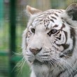 White tiger face detail - Stock Photo