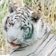 White tiger mouth open — Stock Photo