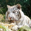White tiger playful — Stock Photo #9656771