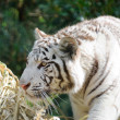 White tiger stalking — Stock Photo #9656781