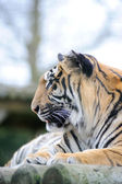 Tiger profile — Stock Photo