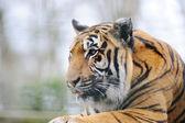 тигр с языком — Стоковое фото