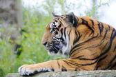 тигр смотреть — Стоковое фото