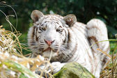 White tiger with grass in mouth — Stock Photo