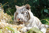 White tiger playful — Stock Photo