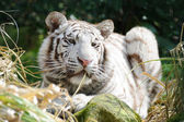 White tiger in sunlight — Stock Photo