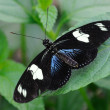 Stock Photo: Heliconius SarButterfly