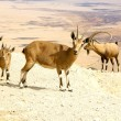 Stock Photo: Goats in Yehuddessert