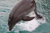 Delfin w ejlat — Zdjęcie stockowe