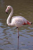 A Greater Flamingo — Stock Photo