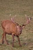 Red Deer (cervus elaphus) 6 — Stock Photo
