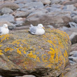 Herring Gull Pair (Larus Argentatus) — Stock Photo