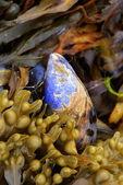 Blue mussel between seaweed — Stock Photo