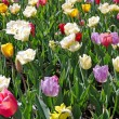 Tulip mixture — Stock Photo