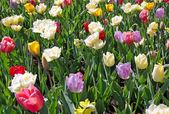 Tulip mixture — Stock Photo