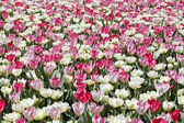 Pink tulip mix. — Stock Photo