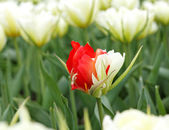 Different tulip — Stock Photo
