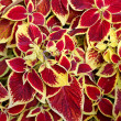 Stock Photo: Coleus Blumei