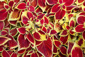 Coleus Blumei — Stock Photo