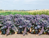 Purple sprouts — Stock Photo