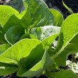 Stock Photo: Single looseleaf lettuce plant