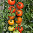 Stock Photo: Tomato cluster on vine