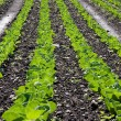 Rows of Lettuce in Field — Stock Photo #8139849