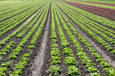 Red and Green Lettuce Field — Stock Photo