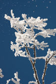 Treetop in frost — Stock Photo