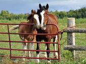 Clydesdale mare and foal snuggle by farm gate — Stock Photo