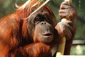 Portrait of a Bornean Orangutan — Stock Photo