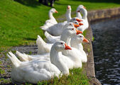 Gaggle of white geese lined up on bank of a park pond. — Stock Photo