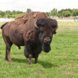 Alpha male American buffalo — Stock Photo
