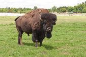 Alpha männliche amerikanische büffel — Stockfoto