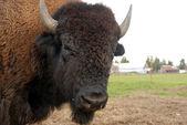 Closeup portrait of an American buffalo (bison). — Stock Photo
